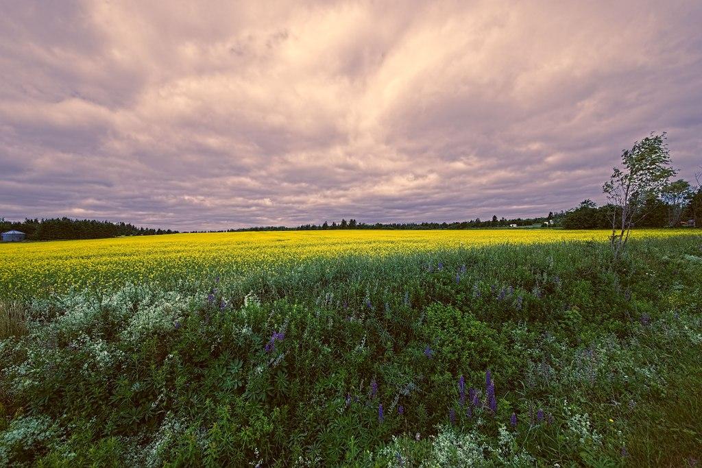 Field of Yellow - Prince Edward Island, Canada.jpg